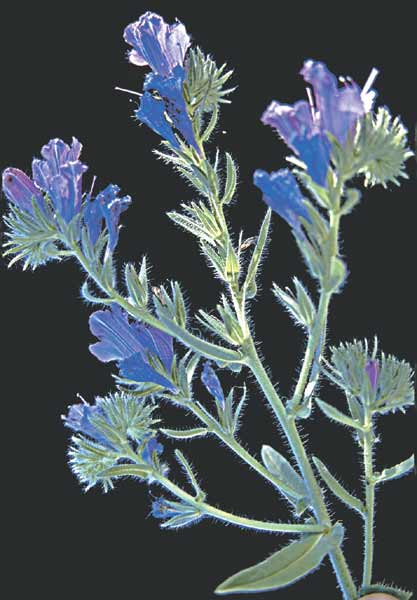 Viper's bugloss, blue weed