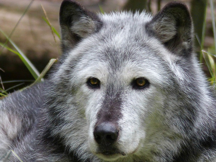 Image of a grey wolf.