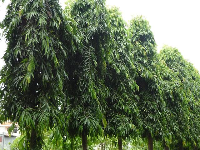 Hoàng Nam là loại cây trồng tạo rào chắn
