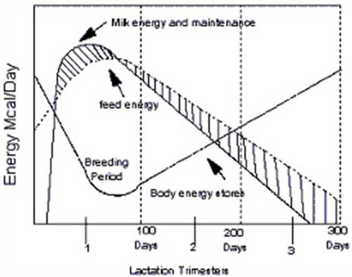 Energy (in Mcal/day) curves (feed, milk production and body stores) for a lactating, high-producing dairy cow, in relation to time in lactation (trimesters) and breeding period (Source: Kutches A., Anim Nutr Health, Nov–Dec 1983).