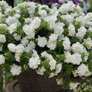 Image result for petunia double wave white