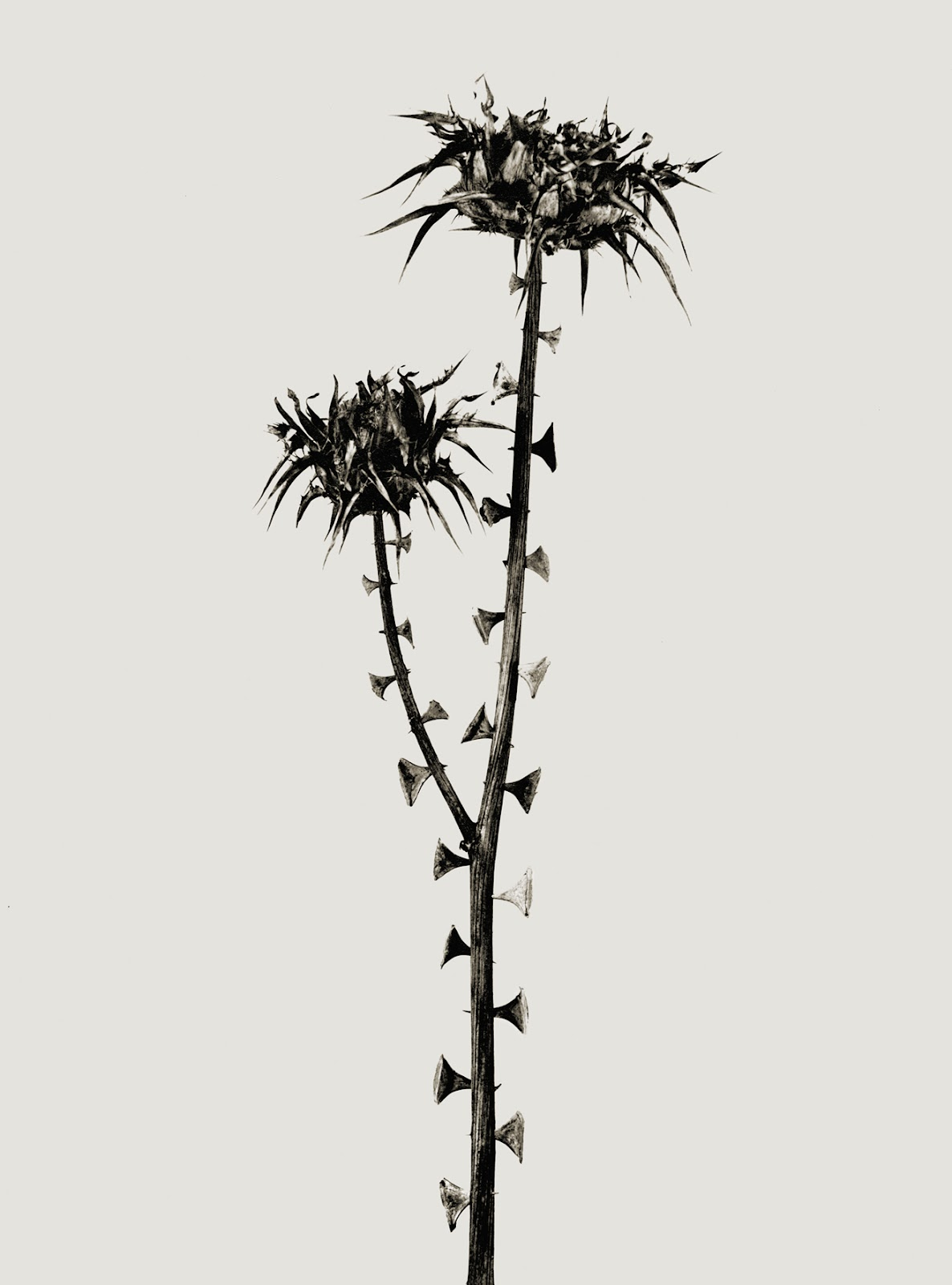 Joan Fontcuberta Herbarium Braohypoda.jpg