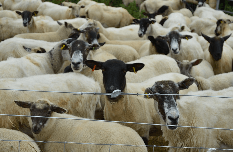 lots of sheep crowded in a small space all looking bored