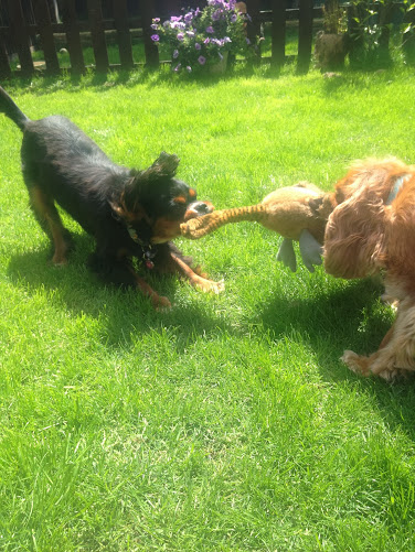 Play time at Chelsea Dogs with Crumble and Bleecker