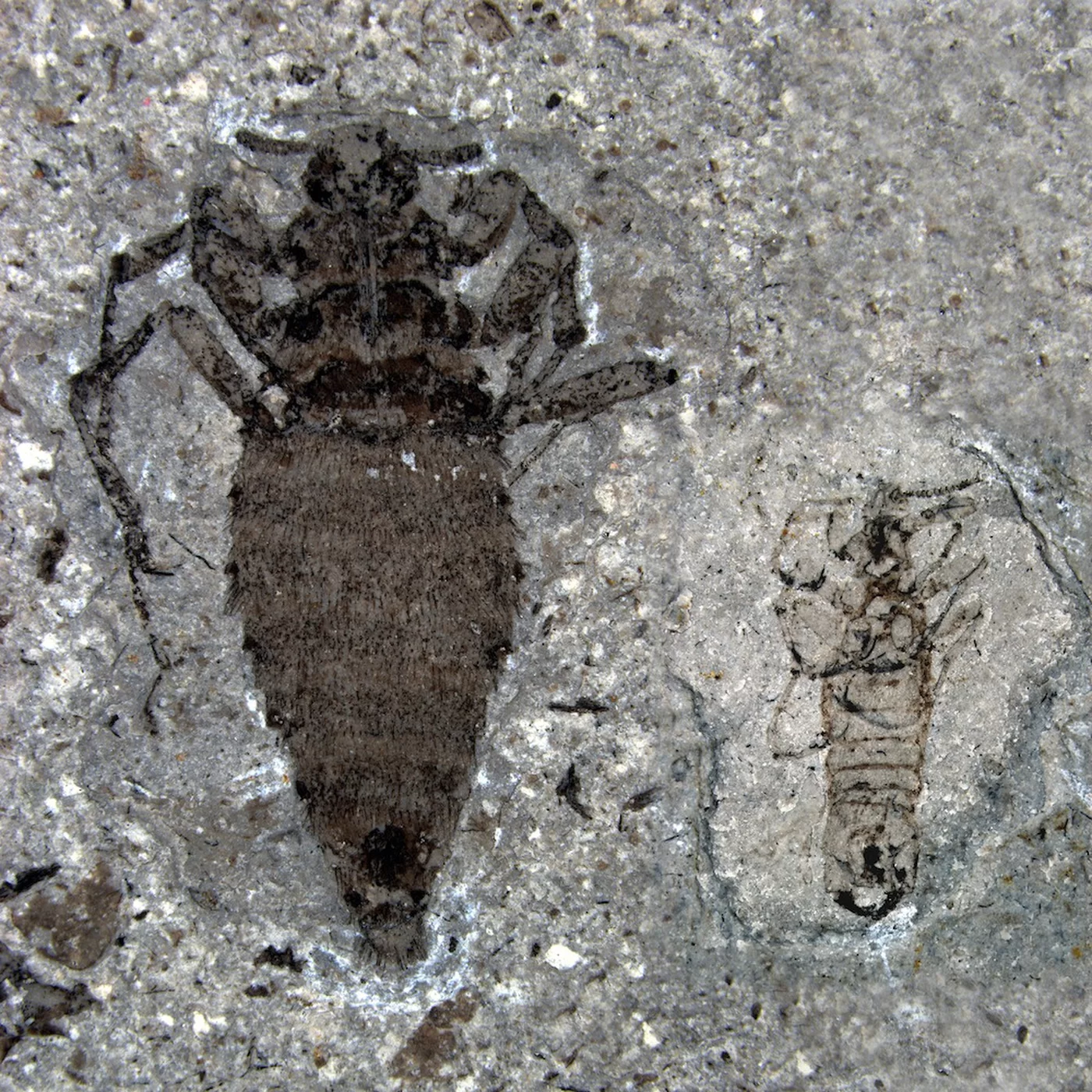 A fossil of a male and female flea from the Jurassic Period.