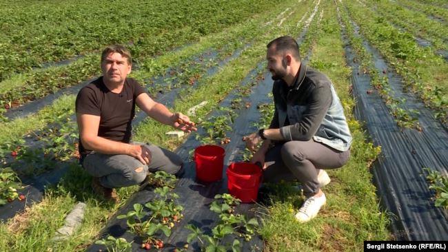 Господар ферми Їржі Сікста показує, як правильно збирати полуницю