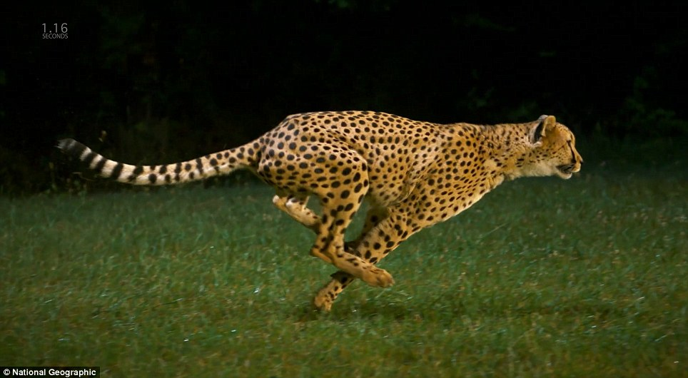 Image result for cheetahs running