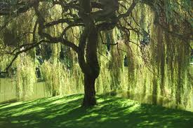 Image result for a willow tree