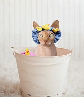 The Sphynx Cat: Understanding All About Them
