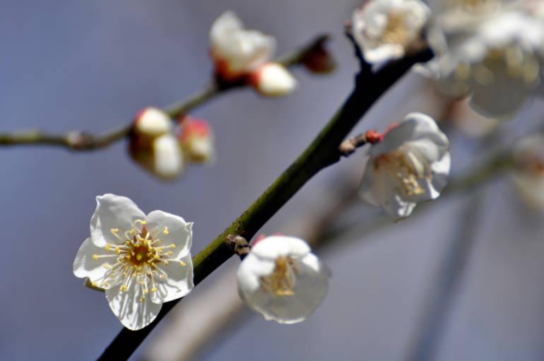 plum blossoms tokyo spring