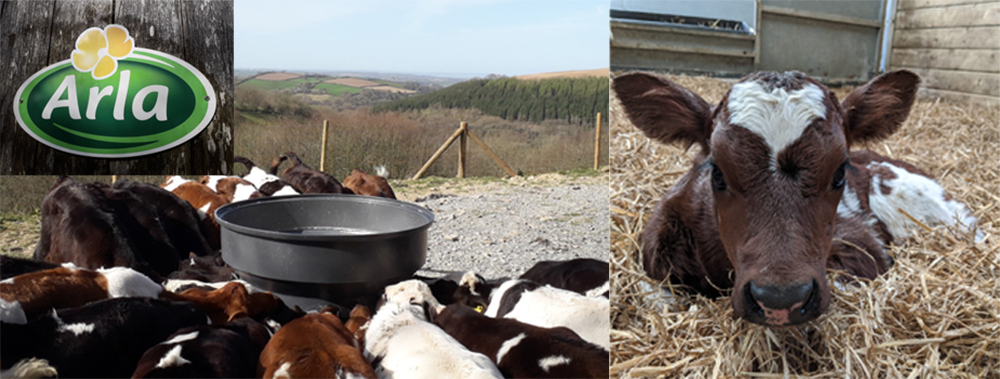 Bampfield Farm have been busy raising lots of young cows for the diary business, providing milk for the Arla company.
