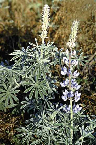 Lupine showing typical palmate leaf and flowers