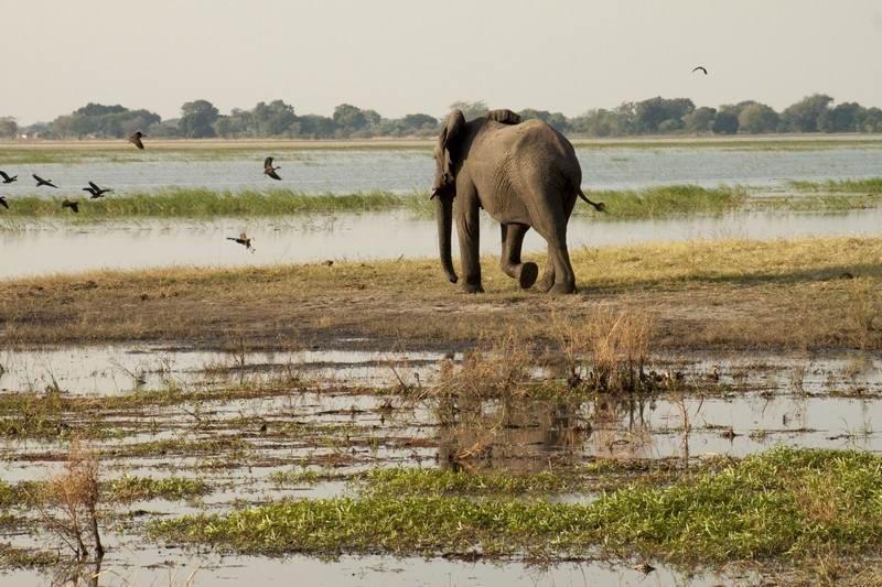 elephant heading to the Chobe river