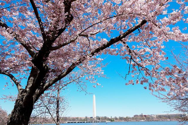 Hoa anh đào nở rộ giữa lòng Washington DC (nguồn Internet)