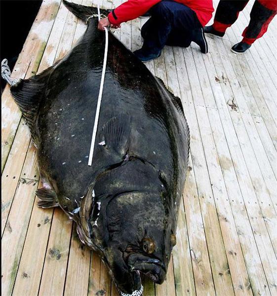 Как ловить палтуса в Норвегии