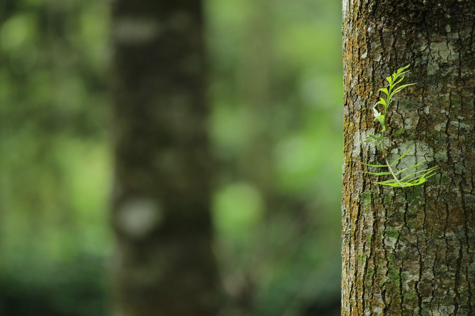 גזע עץ ירוק . עץ התות של יוסי בנאי