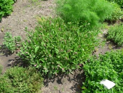 Szałwia lekarska Salvia officinalis