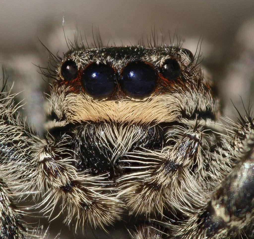 https://upload.wikimedia.org/wikipedia/commons/thumb/5/5b/Marpissamuscosa.jpg/1024px-Marpissamuscosa.jpg
