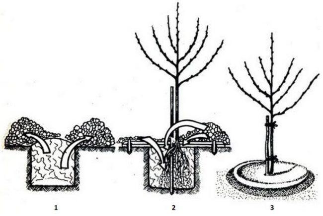 Этапы правильной посадки саженца сливы в черно-белых картинках