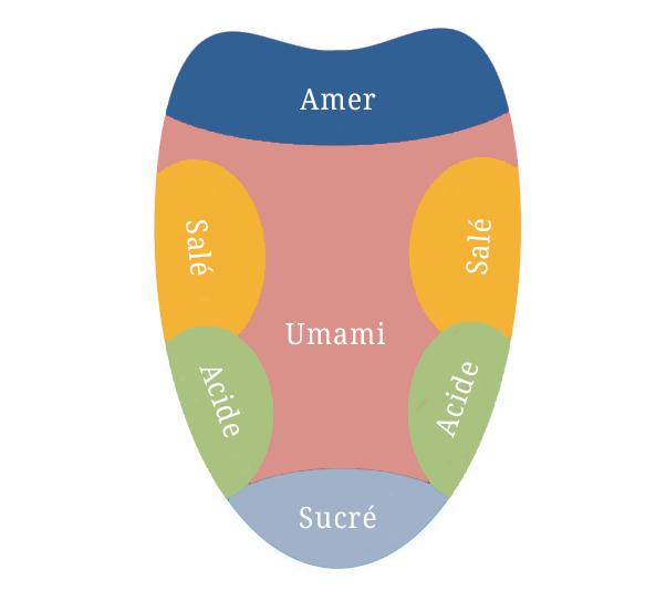 Les zones de la langue qui détectent le goût : le sucré en bas, l'acide sur les côtés extérieurs, le salé sur les côtés intérieurs, l'amer au fond de la langue et l'umami qui englobe tout le palais.