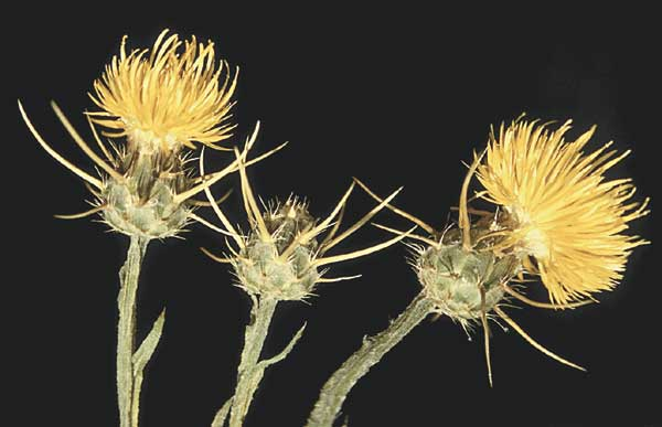 Yellow star thistle with yellow ray flowers and long spiny bracts