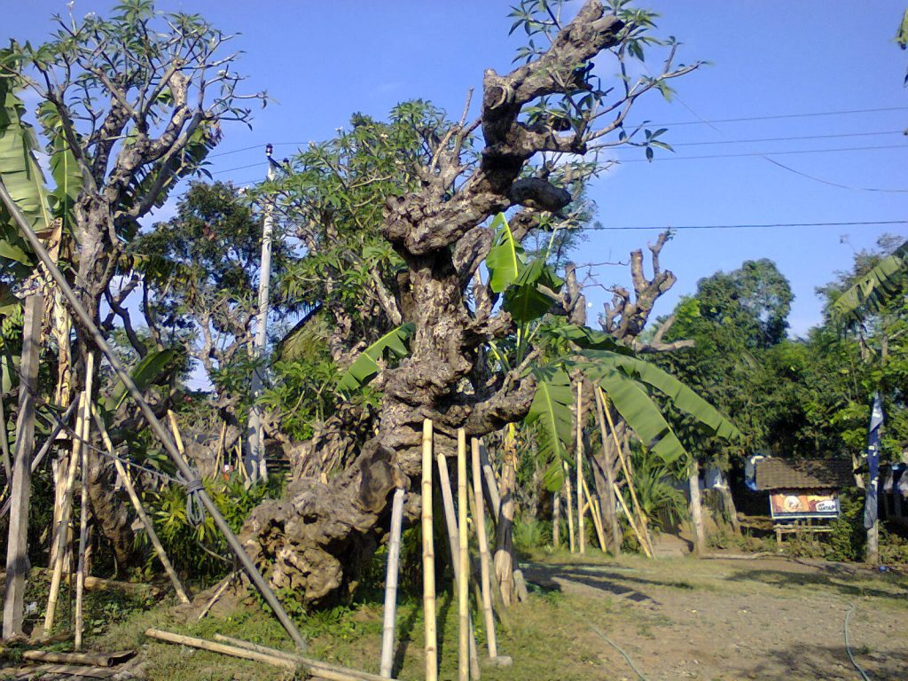 Manfaat Bunga Pohon Kamboja Fosil dan Lainnya