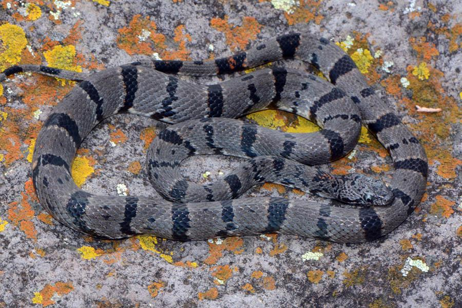 Image result for gray banded kingsnake
