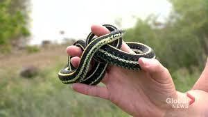 Garter snake population 'healthy' around Saskatoon - Saskatoon ...