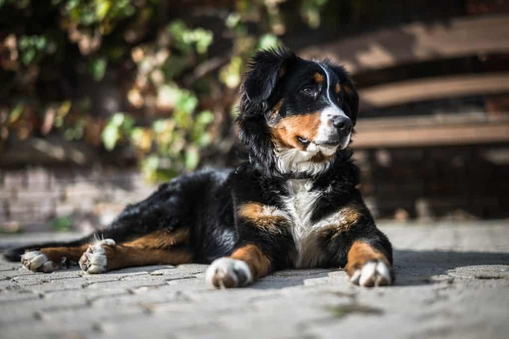 a Bernese Mountain Dog laying down on a sidewalk