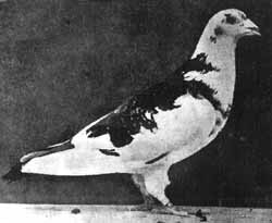 Image result for paddy pigeon