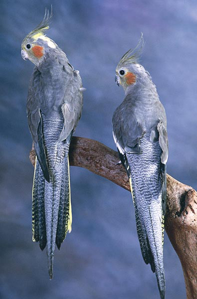 These birds, if mature represent the typical coloration of females of this species and color type