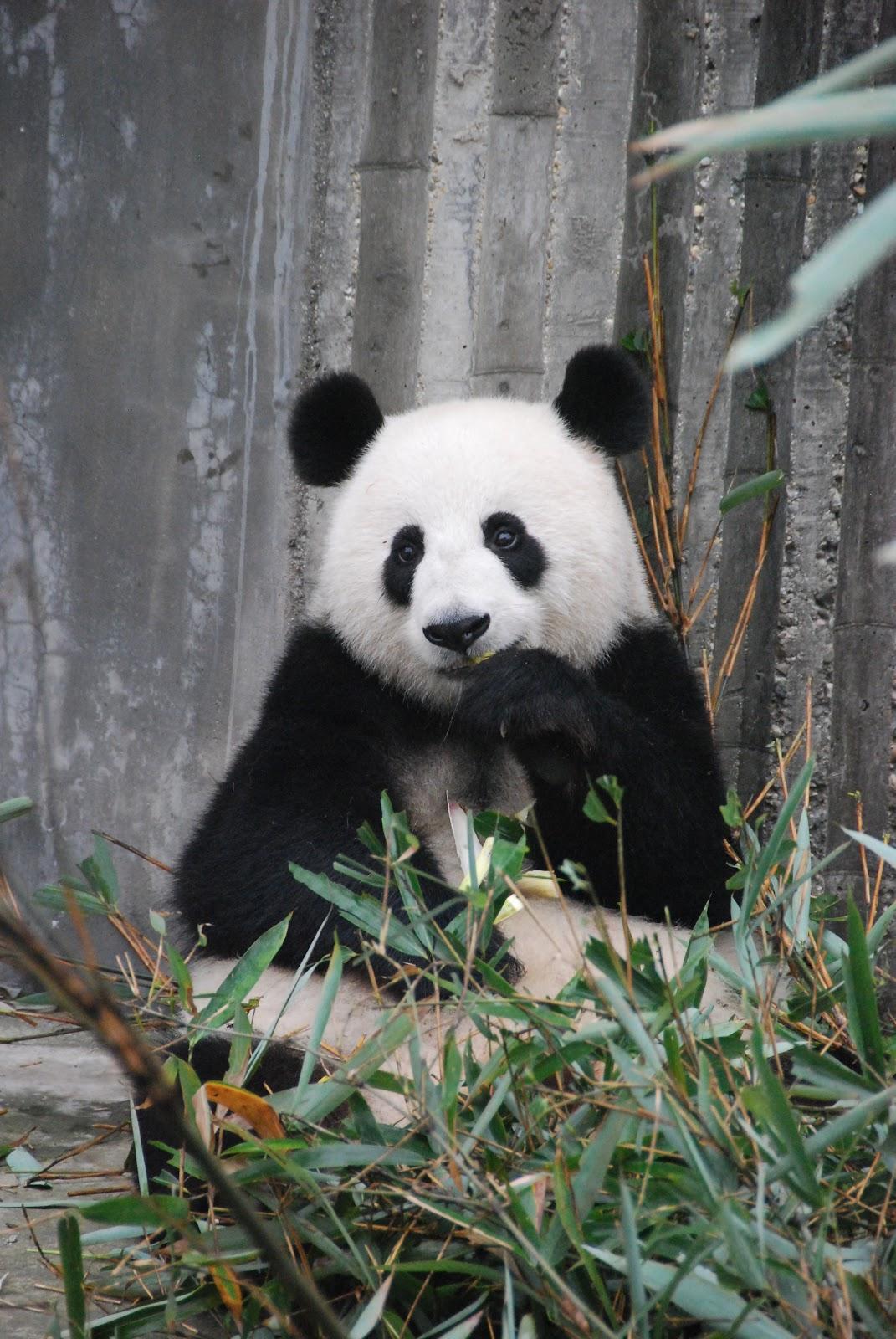 https://upload.wikimedia.org/wikipedia/commons/3/3e/Panda-bear-on-green-grass-3608263.jpg