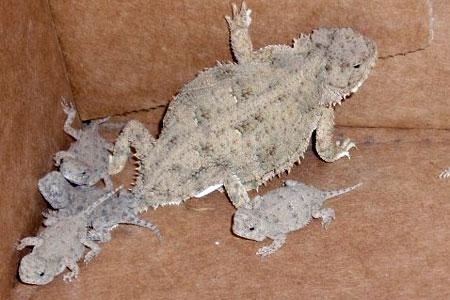 Image result for texas horned lizard pregnant