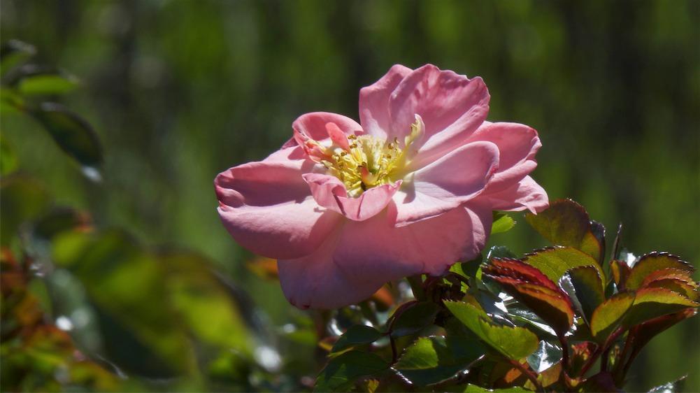 Pretty Rose.jpg