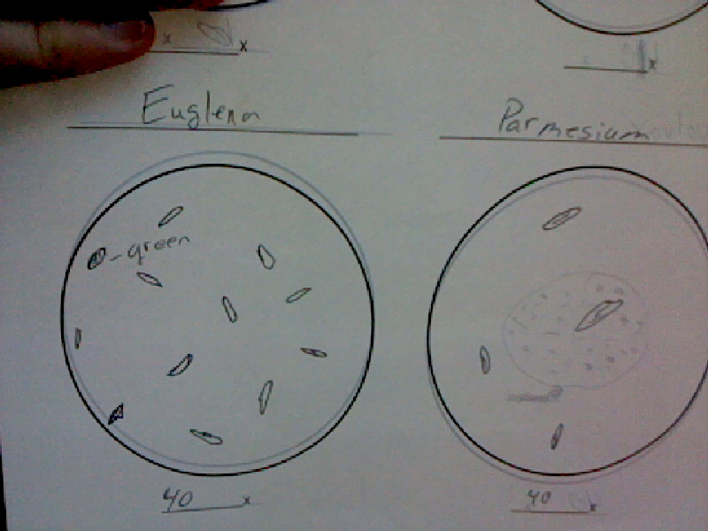 Amy bs bio 20 blog protista quickly sketch the euglena under all 3 levels of magnification estimate how many euglena are on your slide under each magnification ccuart Gallery