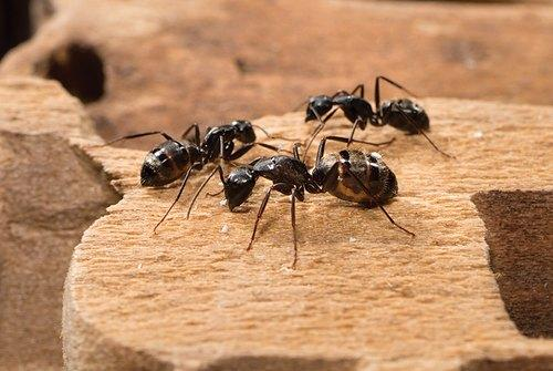 in Home Bee Ants Pest Control Service, Rashtriya Chemical & Herbal Pest  Control Service   ID: 21361643073