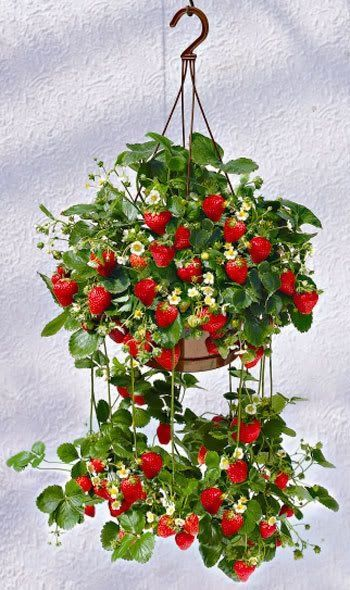 Strawberry Plant Hanging Plant