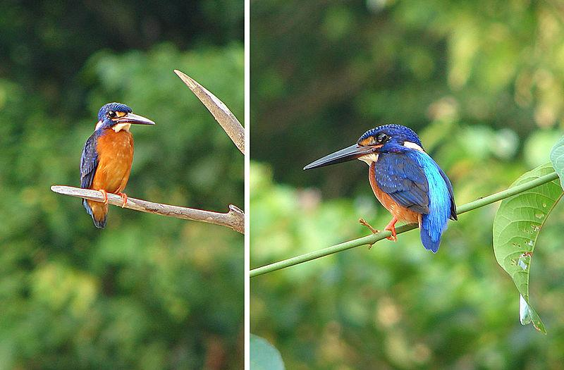 File:Alcedo meninting, Blue-eared Kingfishers (12644907743).jpg