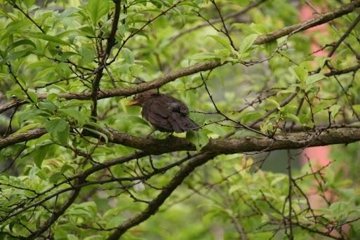 merle sur une branche