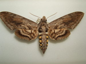 A tomato moth can be brown and found in tomato gardens.
