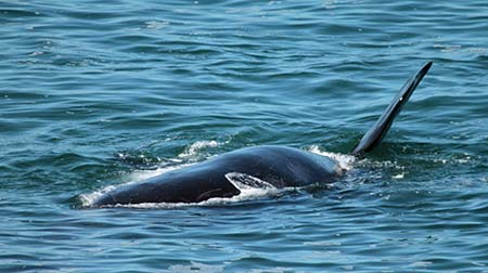 whales mating and calving in the waters off Hermanus