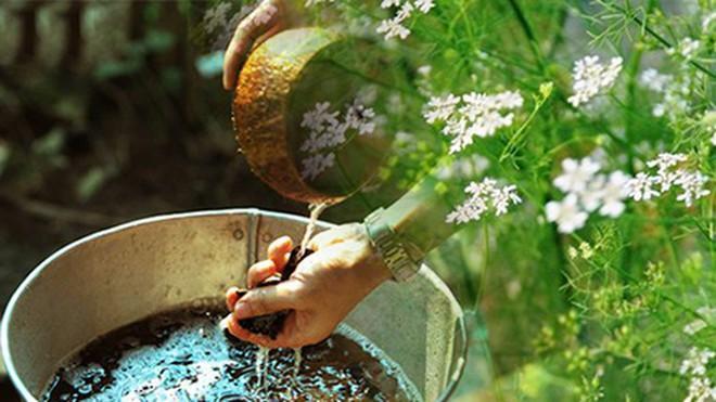 Cây mùi già là cây gì? Vì sao phải tắm lá mùi già vào ngày 30 Tết?