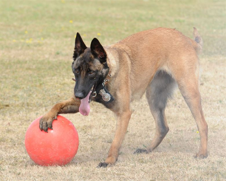 K9 with a red ball