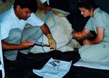 Female camel undergoing non-surgical embryo collection. Flushing medium is injected into the uterus via a 2-way Gibbon Balloon catheter passed through the cervix and collected subsequently by gravity flow into a sterile beaker.