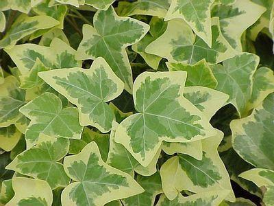 http://www.greengatefarms.com/_ccLib/image/plants/DETA-253.jpg