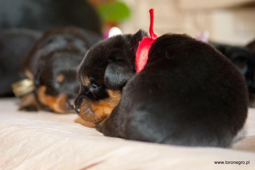 Śpiące szczenię rottweilera