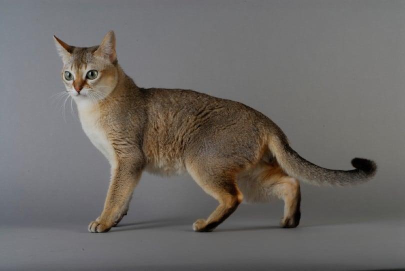 Mèo Singapore là linh vật của đảo quốc sư tử