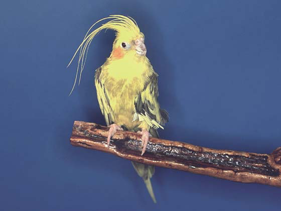 An 8-year-old lutino pied with advanced gold coloring of the feathers