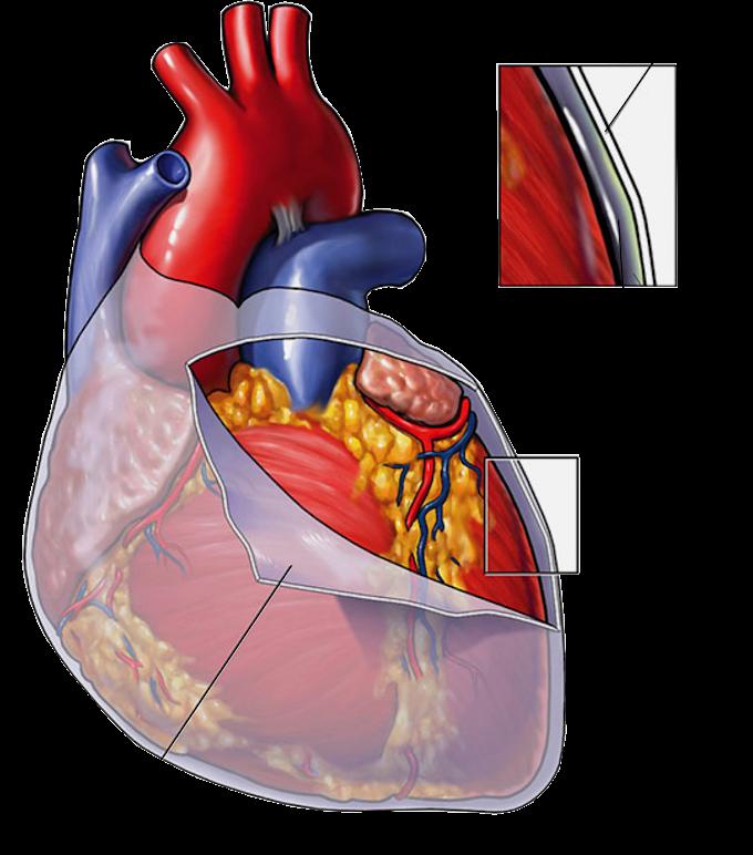Fisiologia | Sistema Cardiovascular