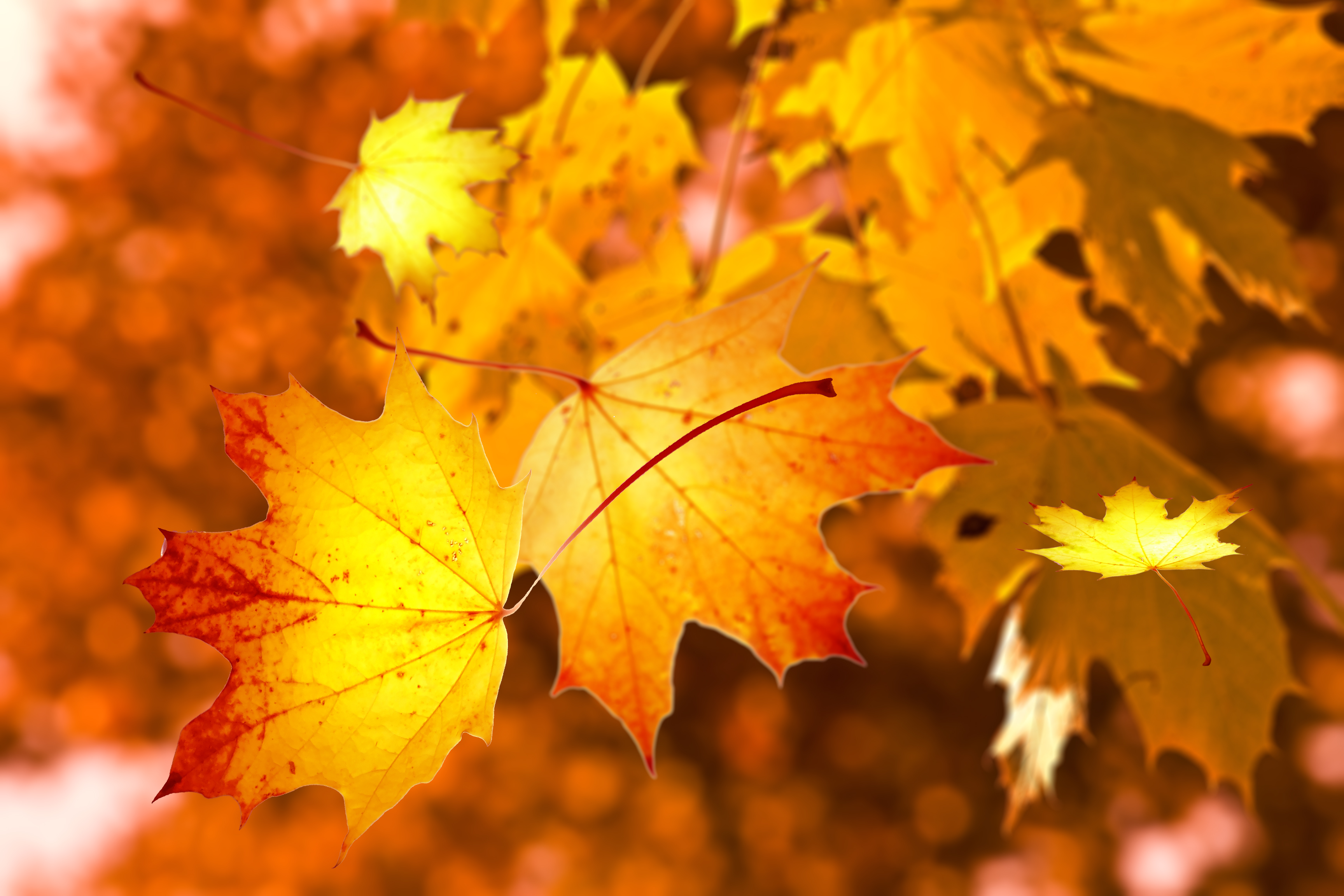 https://get.pxhere.com/photo/autumn-leaves-nature-maple-leaf-leaf-yellow-deciduous-sunlight-maple-tree-tree-branch-computer-wallpaper-1418157.jpg